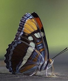 ~~another sister ~ california sister butterfly by creationcaptures (mtngpa)~~