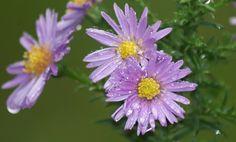 Blüten nach dem Regen - blossoms after rain