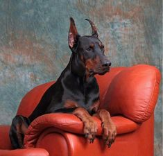 """Click visit site and Check out Cool """"Dobermann"""" Shirts. This website is top-notch. Tip: You can search """"your name"""" or """"your favorite shirts"""" at search bar on the top. All Breeds Of Dogs, Large Dog Breeds, I Love Dogs, Cute Dogs, Awesome Dogs, Pincher Dog, Doberman Love, Most Beautiful Dogs, Dog Store"""