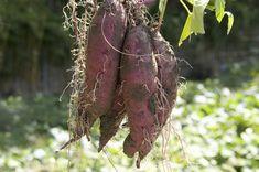 Gartenzauber   Süßkartoffeln - Gartenzauber Hätten Sie es gedacht? Die Süßkartoffel (Ipomoea batatas) ist gar keine Kartoffel, sie ist mit der Ackerwinde und der Prunkwinde verwandt. Nur die große Ähnlichkeit mit der Kartoffel und der süße Geschmack brachte ihr den Namen Süßkartoffel ein.Die besondere Farbe von rot bis braun ist ihr spezielles Merkmal. Dank ihrer hübschen, üppig wachsenden frischgrünen Blätter und der attraktiven weiß-violetten und rankenden Blüte werden Süßkartoffeln auch…