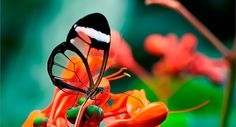 Стеклянница - бабочка с прозрачными крыльями -   Butterfly with transparent wings  Greta oto - так по-научному называется одна из самых изящных в мире бабочек. Ее крылья, имеющие размах до 6 см, почти полностью прозрачны! По-английски этот вид бабочек зовется glasswing, русский эквивален