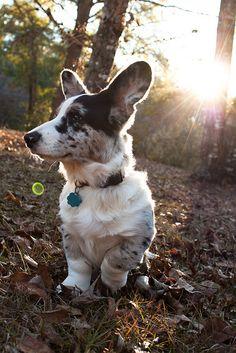 Byron - Cardigan Welsh Corgi - Puppy 5 Months Love those big paws :) Cardigan Welsh Corgi Puppies, Pembroke Welsh Corgi Puppies, Corgi Dog, Cute Puppies, Cute Dogs, Cute Dog Pictures, Dog Photos, Corgi Funny, Baby Dogs