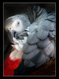 African Grey Parrot (Graupapagei) | Flickr - Photo Sharing!