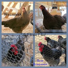 The Chicken Chick in Poultryville, Part Deux: Reporting from P.Allen Smith's Poultry Workshop