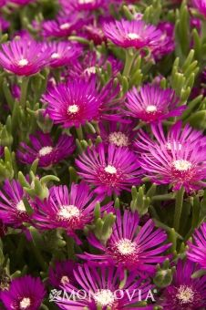 We're using a lot of hardy ice plant (Delosperma cooperi) in fall containers. It's tough, drought tolerant, and blooms brilliant pink from early summer to late fall. Succulent Ground Cover, Ground Cover Plants, Ice Plant, Trees To Plant, Arizona Gardening, Monrovia Plants, Plant Catalogs, Garden Plants, Gardens