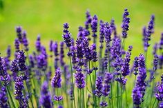 Learn how to plant and grow gorgeous lavender plants. Plus discover popular lavender varieties to try in your own garden. Get tips for caring for lavender and even ideas for using lavender in the kitchen. Buy Lavender Plants, Growing Lavender, Lavender Flowers, Lavender Oil, Lavender Varieties, Purple Flowers, Planting Lavender, Summer Flowers, Lavender Care
