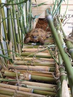 """Brownie"" the Russian tortoise trying out her bamboo bridge. Tortoise House, Tortoise Habitat, Tortoise Table, Baby Tortoise, Sulcata Tortoise, Turtle Enclosure, Reptile Enclosure, Outdoor Tortoise Enclosure, Russian Tortoise"