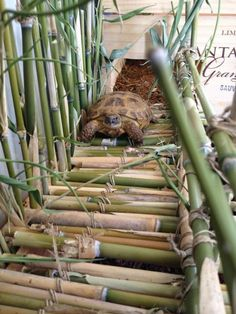 """Brownie"" the Russian tortoise trying out her bamboo bridge...."