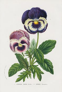 Vintage Flower Prints from Van Houtte 1845