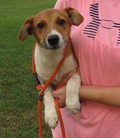 Pictures of Wilma a Jack Russell Terrier for adoption in Allentown, PA who needs a loving home.