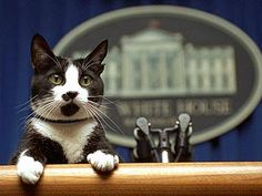 The White House has seen a number of First Pets over the years, from John F. Kennedy's pony Macaroni to Bill Clinton's cat Socks. Global News takes a look at a selection of photos of presidents with their pets. Funny Cats, Funny Animals, Cute Animals, I Love Cats, Crazy Cats, White Cats, Animal Quotes, Pet Quotes, Funny Animal Pictures