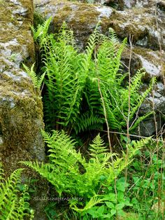 Fern Magic - Nothing is more mysterious or beautiful than ferns unfurling in the sun-dappled shade of the woodland on a spring afternoon. Ferns are the ancient ones of the plant kingdom, unchanged in appearance for millions of years. Ferns have long been linked to magic in the garden and the home. Thrown on a fire or smoldering embers, dried fern repels all evil. Adepts of long-ago included ferns in luck and prosperity magic.