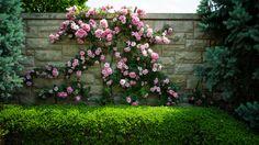 http://cdn.pcwallart.com/images/pink-peony-bush-wallpaper-2.jpg