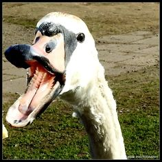 Derek Dodge Collins, Nature Photographers     Swan,UK