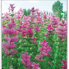 Amazon.com : Best Garden Seeds Naturl Pink Butterfly Sage Flowers Seeds, Original Package, 50 Seeds, Strong Aroma Ornamental Flowers Aromatic : Patio, Lawn & Garden