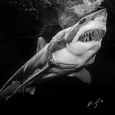 Great White Sharks Underwater Camera Settings and Technique Shark Pictures, Shark Photos, The Great White, Great White Shark, Underwater Photography, Animal Photography, Orcas, Scary Ocean, Shark Art