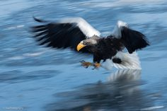 """Rush - Steller's sea eagle, Japan http://www.adephotography.com/PhotoTours <a href=""""http://www.adephotography.com/PhotoTours/Japan-WinterTour-2019""""></a>"""