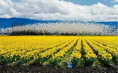 The La Conner Daffodil Festival 2015 Photo Contest Winner is. Daffodil Bulbs, Daffodils, Tulips, Beautiful Beaches, Beautiful Gardens, Snow Goose, Evergreen State, Tulip Fields, Travel Magazines