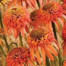"Echinacea ""Irresistible"""