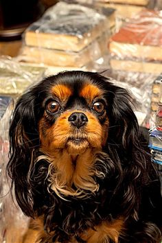 The Cavalier in several means fits the costs as a suitable residence family pet. He is wonderful, gentle, playful, happy to please, affectionate, as well as silent. He just as appreciates sharing time on the sofa or on a stroll. He neither digs nor barks excessively. He is amiable towards other dogs, animals, and complete strangers. Outdoors, his spaniel heritage starts, as well as he enjoys to check out, smell, as well as chase. Train Your Dog Utilizing These Tips When walking your puppy, it is King Charles Puppy, Cavalier King Charles Dog, King Charles Spaniel, Spaniel Puppies, Baby Puppies, Dogs And Puppies, Spaniels For Sale, Indoor Pets, Dog Owners