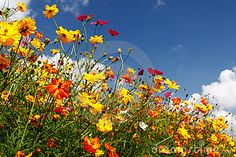 Blue Skies, White Clouds And Colorful Wildflowers - Download From Over 24 Million High Quality Stock Photos, Images, Vectors. Sign up for FREE today. Image: 20822839
