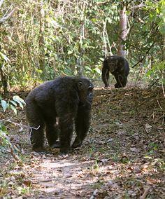 Tracking Chimps on a Tanzania Safari