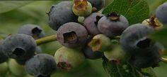 growing blueberries in Aus