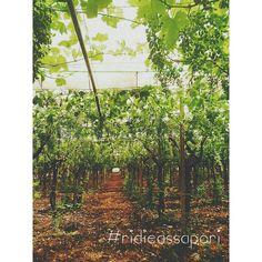 L'uva da tavola ha bisogno di continue cure prima di giungere sulle tavole degli italiani. La mia famiglia la coltiva da anni con passione, dedizione e sacrificio. Io sono orgogliosa della mia uva firmata M.G. (Michele Giordano, mio nonno) Spero un giorno di firmarla con #ridieassapori ☆★ :-D #mydream #mypugliaexperience #experienceblog #igersitalia #agricolturamodomio #igerspuglia #igersbari