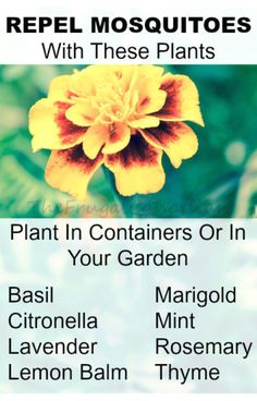 Repel Mosquitoes With These Plants To help repel mosquitoes and other bugs try planting these plant in your garden on in containers around your outdoor living space Basil. Outdoor Plants, Outdoor Gardens, Small Gardens, Outdoor Spaces, Container Gardening, Gardening Tips, Organic Gardening, Plant Containers, Mosquito Repelling Plants