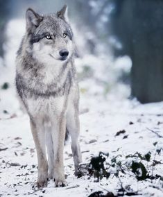 🐺If you Love Wolves, You Must Check The Link In Our Bio 🔥 Exclusive Wolf Related Products on Sale for a Limited Time Only! Tag a Wolf Lover! 📷:Please DM . No copyright infringement intended. All credit to the creators. Wolf Photos, Wolf Pictures, Wolf Love, Beautiful Wolves, Animals Beautiful, Malamute, Wolf Hybrid, Wolf World, Wolf Character