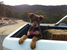 looking forward to getting a kelpie pup. Australian Shepherds, Cute Puppies, Cute Dogs, Dogs And Puppies, West Highland Terrier, Scottish Terrier, Rottweiler, Australian Dog Breeds, Puppy Facts