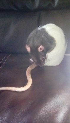 Rat photoshoot picture #2. Phoenix grooming her tail.