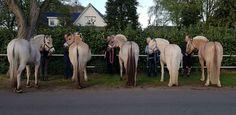 ♞Pinterest ➝ LimitlessSkyy♘ From Left To Right: Ulsblakke, Brunblakke, Grablakke, Gullblakke, Rodblakke Dun Horse, Fjord Horse, Horse Care, Horses, Animals, Fotografia, Animales, Animaux, Horse Grooming