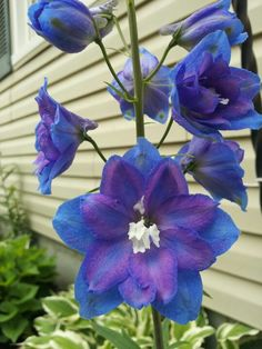 Delphinium...my dad and I bought one just like this last year. It is GORGEOUS and has grown twice the size!