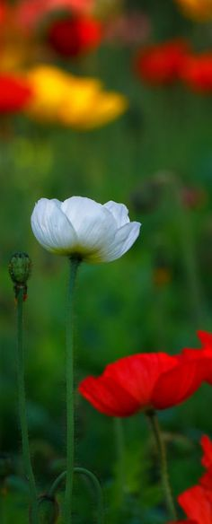 Iceland Poppy...going to plant some in honor of my maternal grandmother's Icelandic heritage...pretty huh?