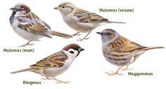 Mussen / Elwin van der Kolk Animals And Pets, Cute Animals, Sparrow Bird, Birds In The Sky, Bird Illustration, Bird Drawings, Watercolor Bird, Little Birds, Fauna