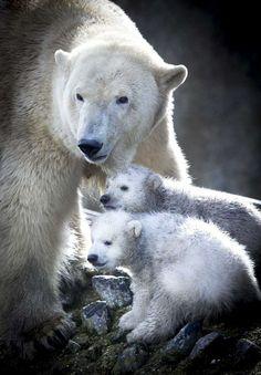 AD.nl, Jonge ijsbeertjes voor het eerst naar buiten.