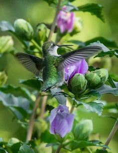 Hummingbird on Roses of Sharon Bush2-007