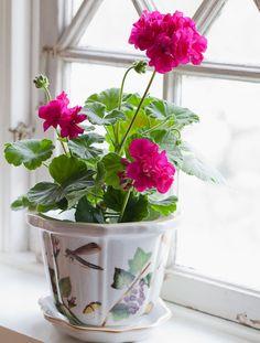 Pink pelargonium in a lovely pot.
