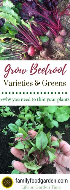 Plant beets with success (thin your beet seedlings! Grow beet types such as chioggia, golden, cylindra, or even white beets. Best beets for greens Healthy Fruits And Vegetables, Organic Vegetables, Gardening For Beginners, Gardening Tips, Container Gardening, Beet Plant, Veg Garden, Vegetable Gardening, Vegetables Garden