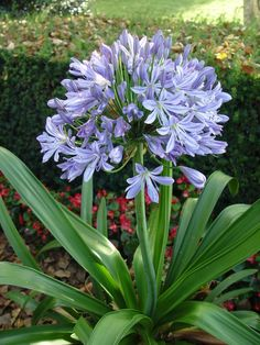 Lily Of the Nile (Agapanthus) Spring 2017 Back flower garden (African Lily) Agapanthus Garden, Garden Plants, Purple Flowers, Beautiful Flowers, Front Yard Planters, Agapanthus Africanus, African Lily, Exotic Plants, Garden Paths