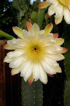 Cactus bloom  #cactus #plants