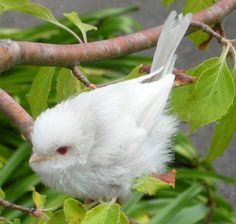 Albino Long-Tailed Tit - so so cute! Best Picture For albino animal albinism For Your Taste You are The Animals, Baby Animals, Nature Animals, Funny Animals, Pretty Birds, Beautiful Birds, Animals Beautiful, Rare Albino Animals, Amazing Animals