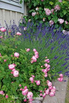 rose and lavender garden hd gallery