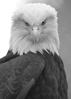 zsazsabellagio: Bald Eagle by Dan Newcomb Photography on Flickr
