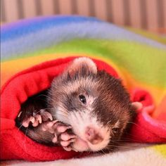 cute wake-up ferret #ferretdaily