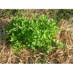 Tétragone cornue Culture, Parsley, Herbs, Seeds, Plants, Herb, Spice