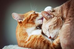 cold december morning cuddles (by Simply Stardust) Crazy Cat Lady, Crazy Cats, Baby Animals, Cute Animals, Nature Animals, Morning Cuddles, Orange Cats, Ginger Cats, Cat Facts