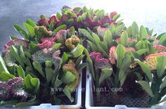 Cleansing /Bare root Euphorbia lactea crest ready to delivery to Europe.