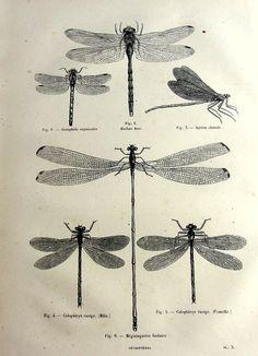 Imprimer des libellules antiques, original 1860 odonata libellule français gravure, illustration insecte plaque, demoiselles vintage pour cadre.